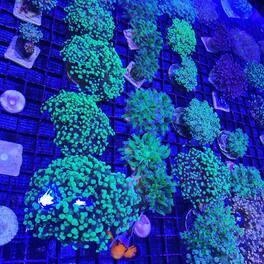 Quelques beaux euphyllia ..  #coraux #goldentorch #cestpasaumag