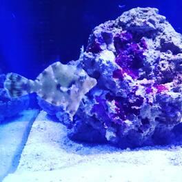 Pour remédier aux aiptasia ! Petit poissons très sympa .. #jeveuxplusdaiptasia #neoquarium #nice #france #aquarium #recifal